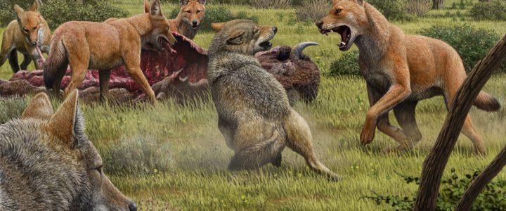 گرگ وحشتناک واقعی در بن بست تکاملی گیر کرده است